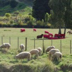 Pecore Rosa